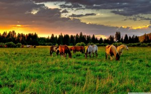 horses_grazing_in_a_field-wallpaper-1440x900